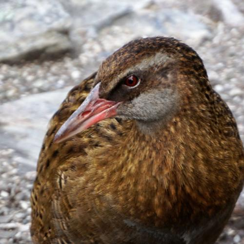Mr Buff Weka eye to eye