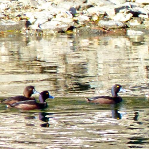 Native Scaup Stevensons I